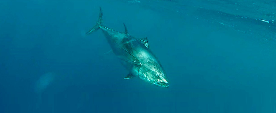 Bluefin Tuna Tackle