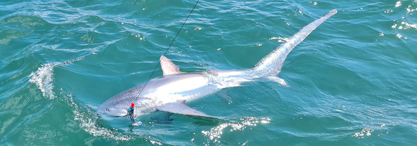 Thresher Shark Fishing in the UK