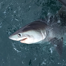 Porbeagle Shark Tackle